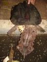 Tartaruga semi-aquática originária da América do Sul, popularmente conhecida por mata-mata.