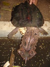 Tartaruga conhecida por mata-mata.