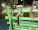 Mico-de-cheiro ou ou mico-mão-de-ouro, espécie ameaça de extinção.