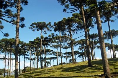 Pinheiral. Foto: Arquivo Paraná Turismo