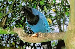 Gralha Azul. Foto: Arquivo Paraná Turismo